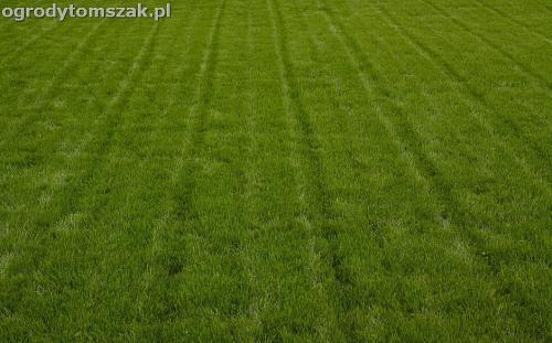 Leśna, Żywiec - trawnik z siewu, siatka na kreta, obsadzenie