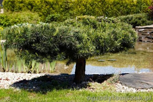 ogrody tomszak kozy trawnik oczko wodne obsadzanieIMG 7880