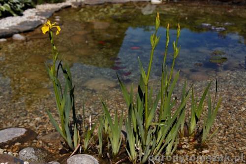 ogrody tomszak kozy trawnik oczko wodne obsadzanieIMG 7907