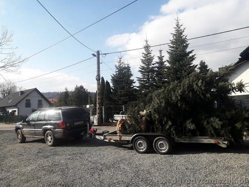 ogrodytomszak bystra sadzenie duzych drzew jodla transport 20190320 145922