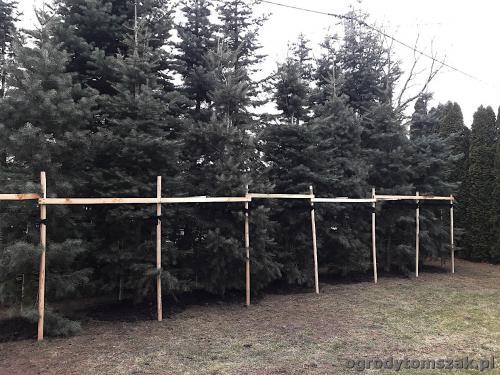 ogrodytomszak bystra sadzenie duzych drzew jodla transport 20190321 132527