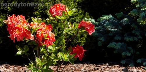ogrodytomszak murki skalniaki obrzeza granitowe ogrodnik bielsko biala 15