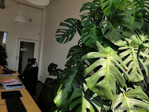 ogrodytomszak zielen w biurze doniczkowe biophilic design IMG 20200422 130722