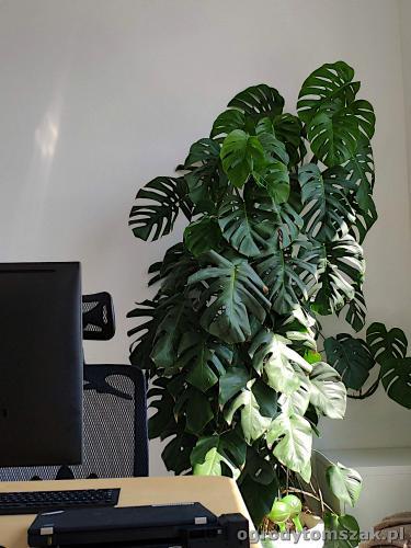 ogrodytomszak zielen w biurze doniczkowe biophilic design IMG 20200422 130906