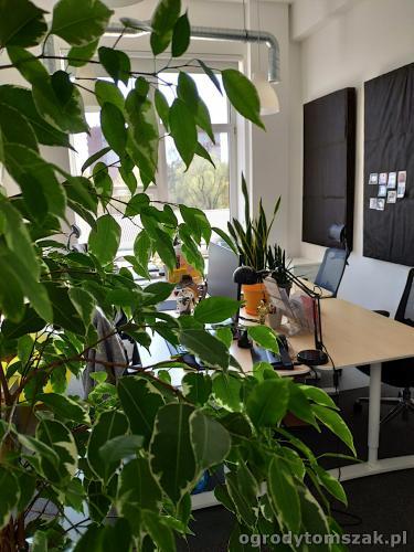 ogrodytomszak zielen w biurze doniczkowe biophilic design IMG 20200422 131846