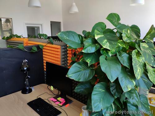 ogrodytomszak zielen w biurze doniczkowe biophilic design IMG 20200422 141714