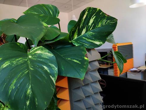 ogrodytomszak zielen w biurze doniczkowe biophilic design IMG 20200422 141722