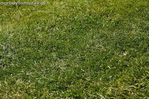 trawnik z rolki trawniki szczyrk buczkowice rybarzowice IMG 6977